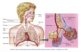 obat herbal radang paru-paru